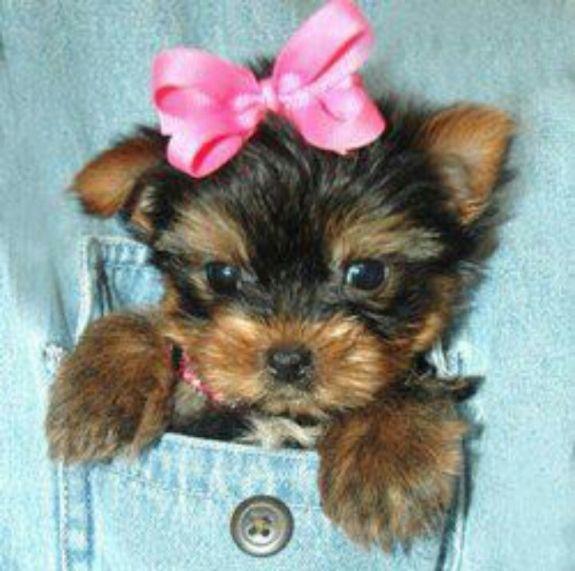 Pocket Yorkie Yorkie Poo Teacup Yorkie Yorkshire Terrier Puppies