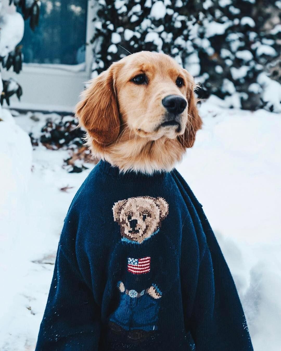 Sarah Vickers' dog, of @puffinandbennie, in the Classic Polo Bear Sweater