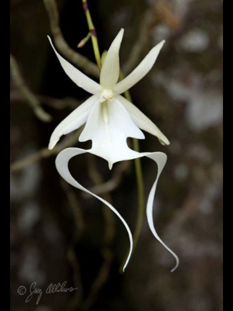 Zbohom ghost orchid flowers pinterest orchids flowers and