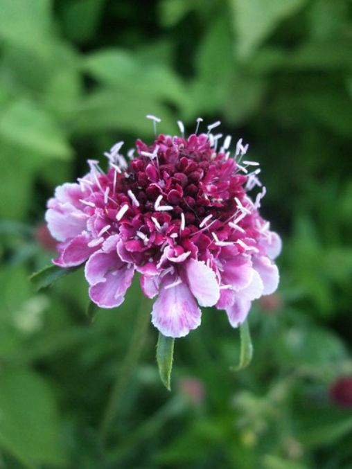 Scabiosa atropurpurea 'Beaujolais Bonnets' from the new annuals border Arne has designed at Cottesbrooke Hall in Northamptonshire.