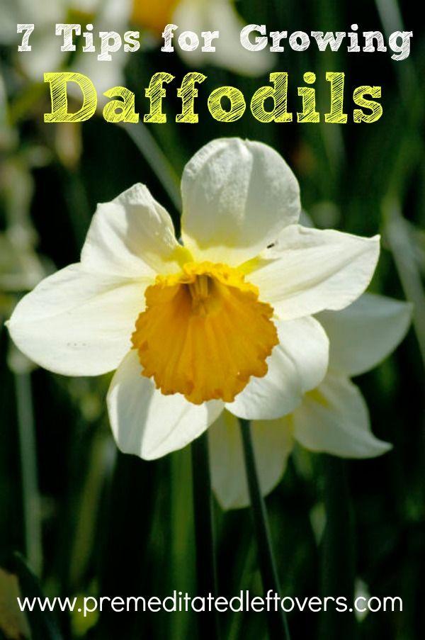 7 Tips For Growing Daffodils Daffodils Planting Planting Daffodil Bulbs Daffodils