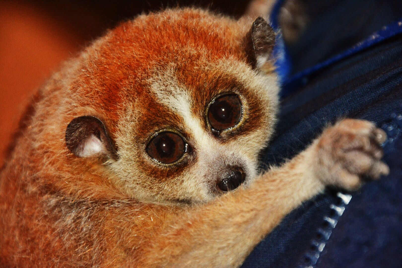 Lazy Loris (With Images)