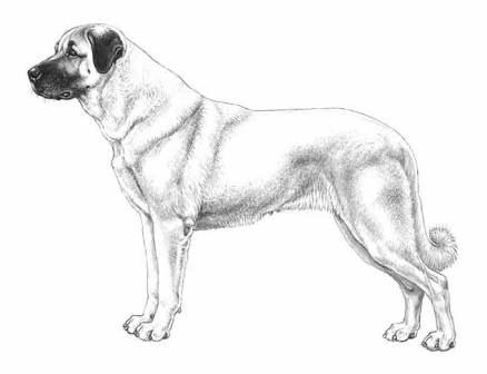 Turkish Kangal Dog Resim Kitap