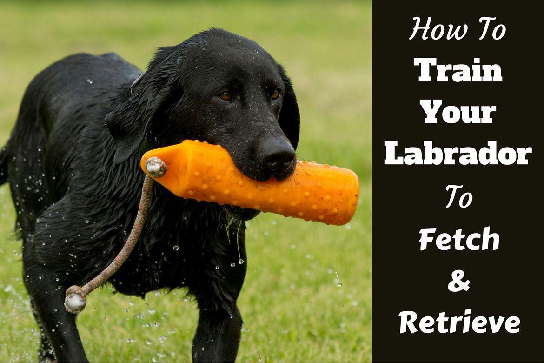 How To Teach Your Labrador To Fetch And Retrieve Labrador
