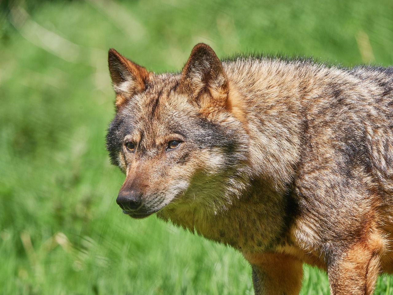 Forest, Wolf, Scheu, Nature, Forest, Animal forest, wolf