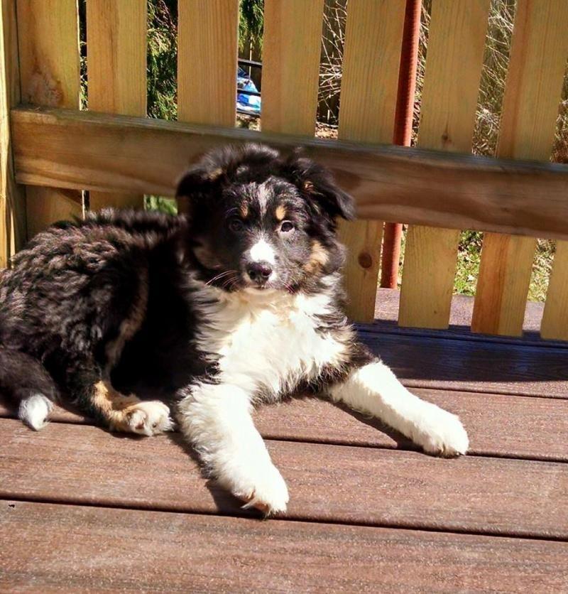 Adopt Buckley Mini Aussie Poo On Petfinder Aussie Poo Poodle Mix Dogs Mini Aussie