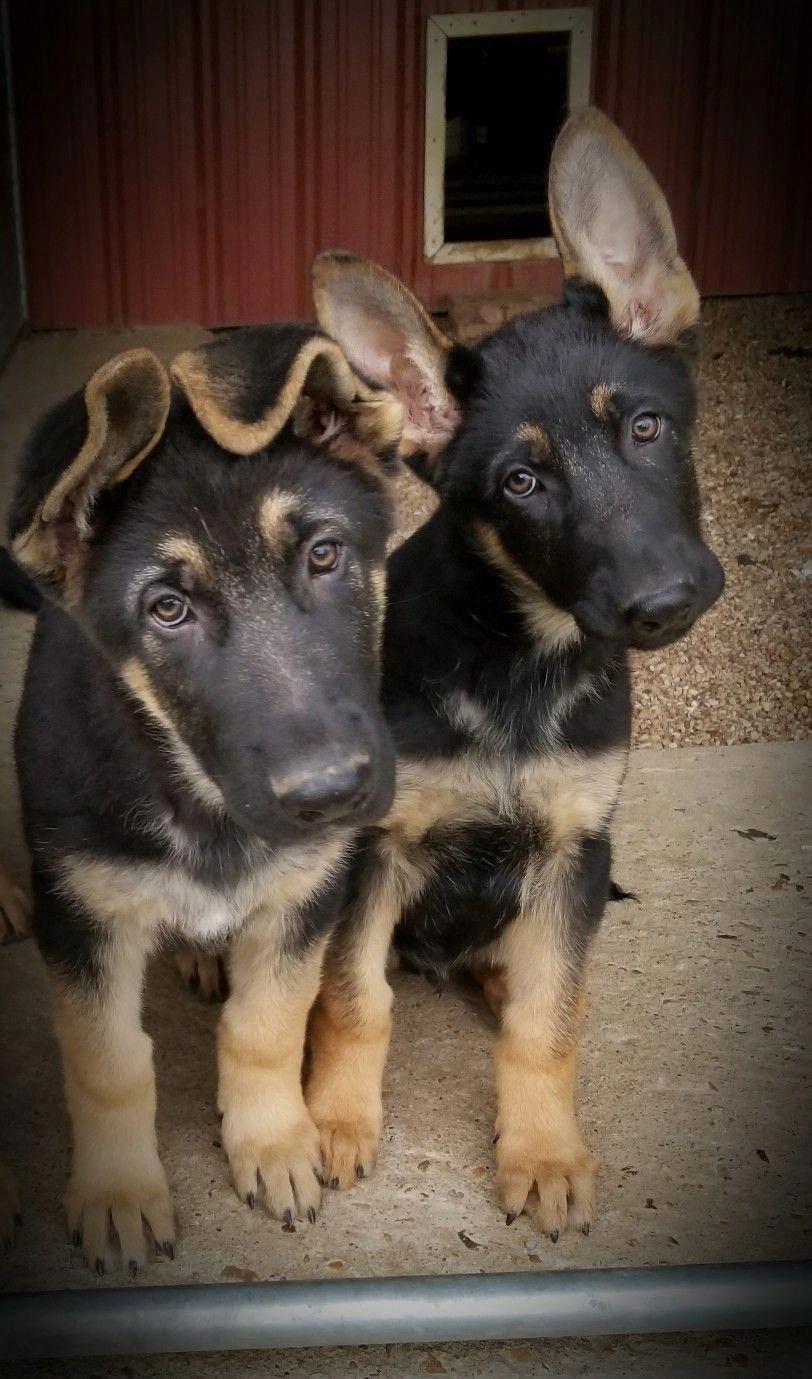 AKC German Shepherd puppies, love those ears, lol... at