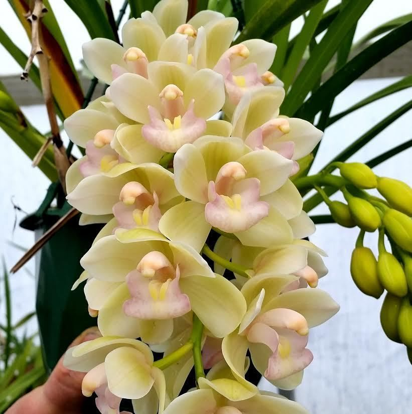 orchid compot