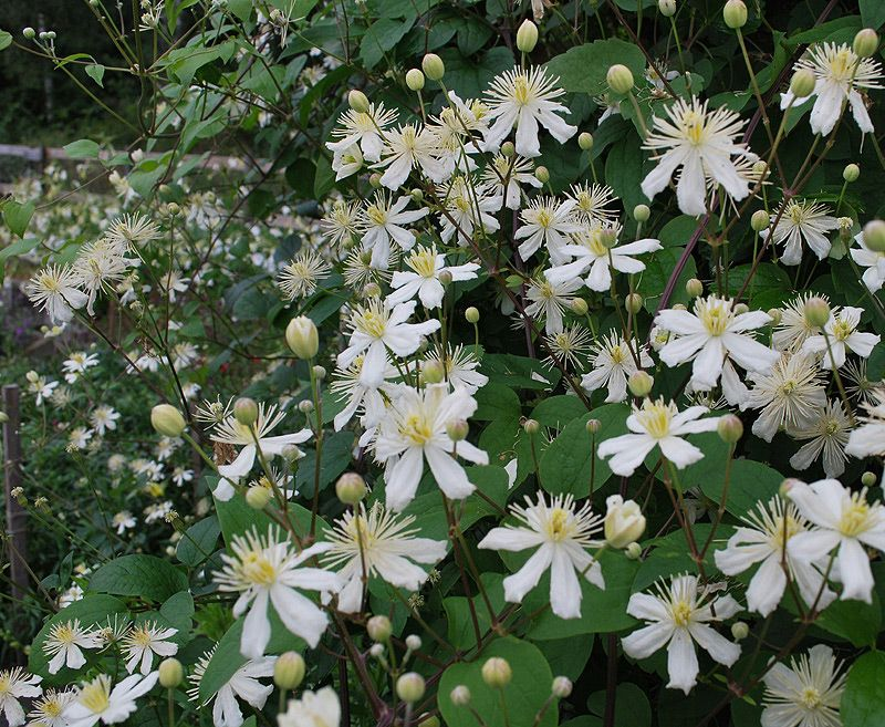 stj rnklematis clematis fargesii 39 summer snow 39 plants. Black Bedroom Furniture Sets. Home Design Ideas