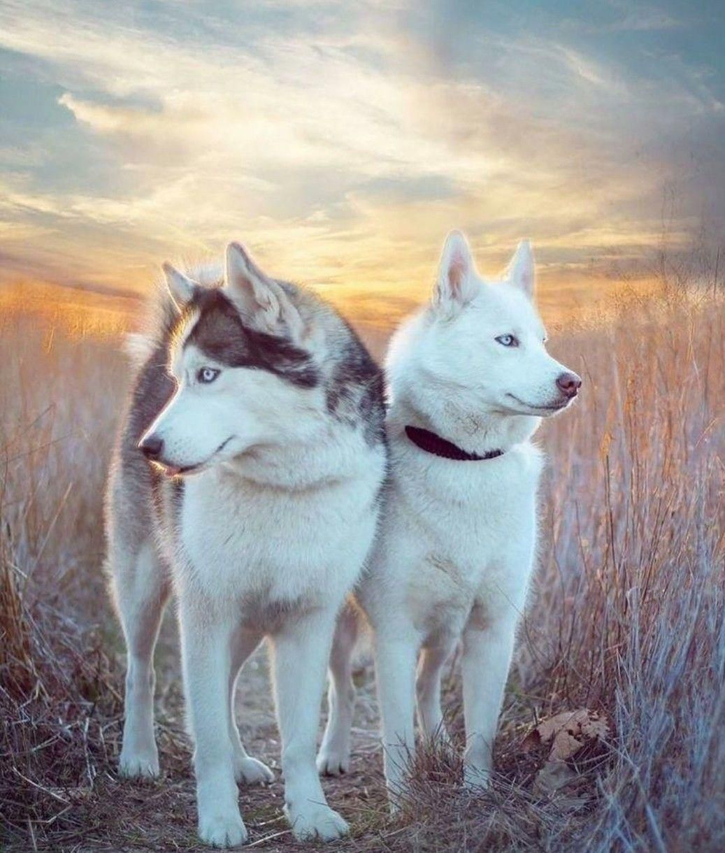 More About Athletic Siberian Husky Pup Exercise Needs
