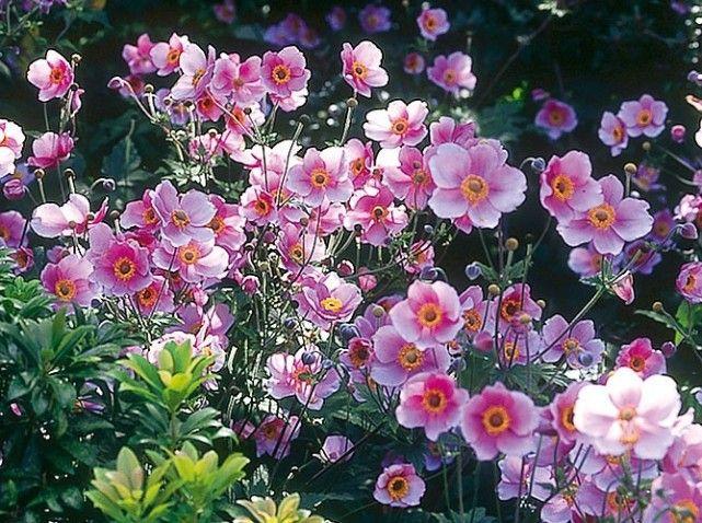des fleurs de fin d t et d automne anemone du japon an mone et le japon. Black Bedroom Furniture Sets. Home Design Ideas