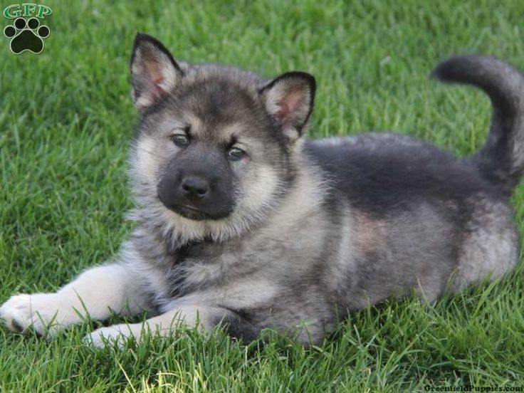 Husky German Shepherd Mix For Sale Google Search Shepherd Mix