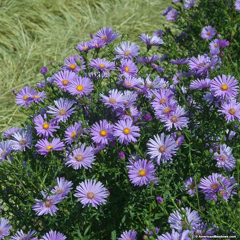 Purple Aster American Meadows Purple Flowers Garden Purple Perennials Aster Flower