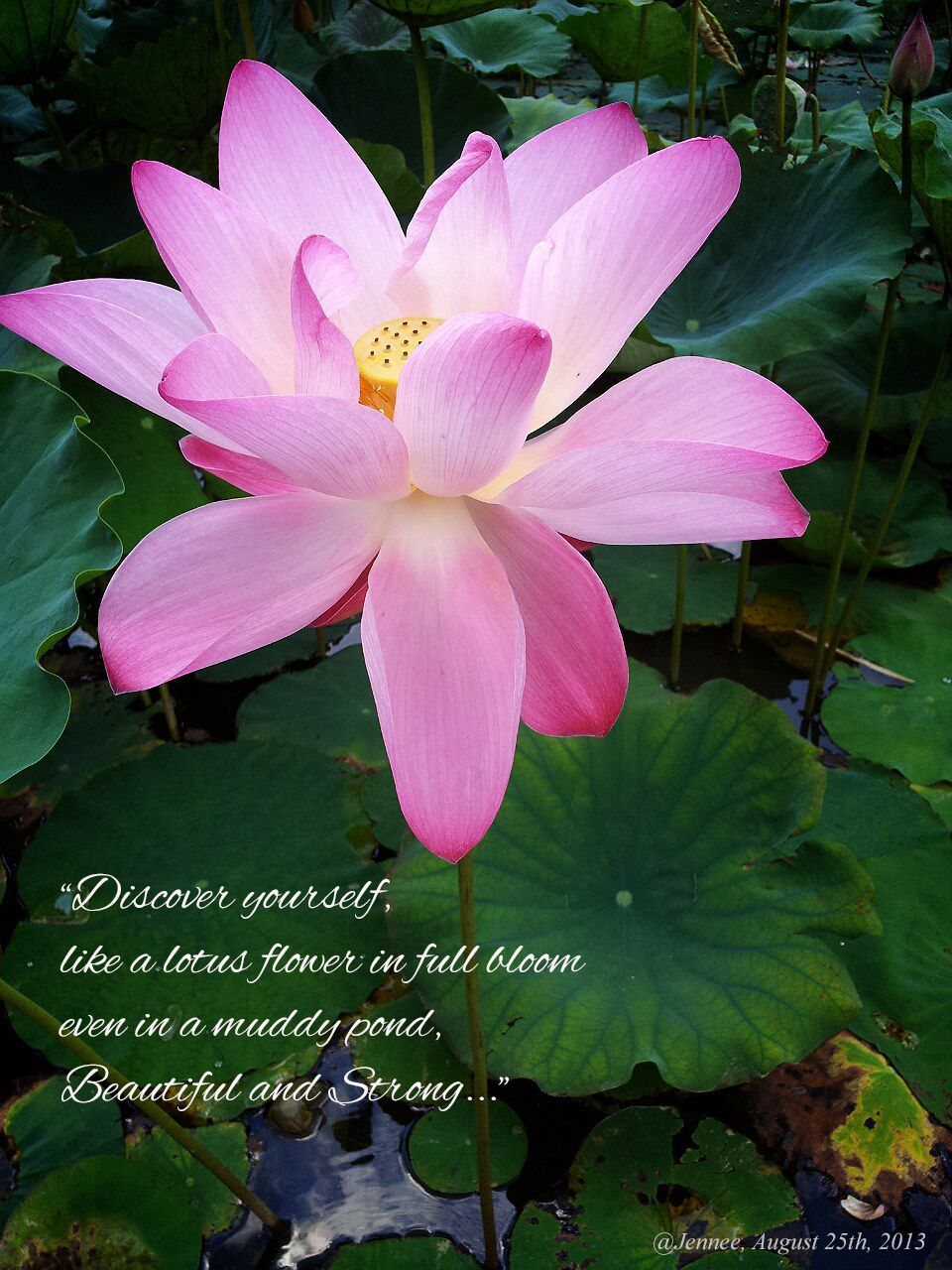 Red Lotus Flower Meaning Meaning of Lotu...