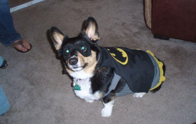 Yes It S A Corgi Dressed As Batman Corgi Baby Animals Batman