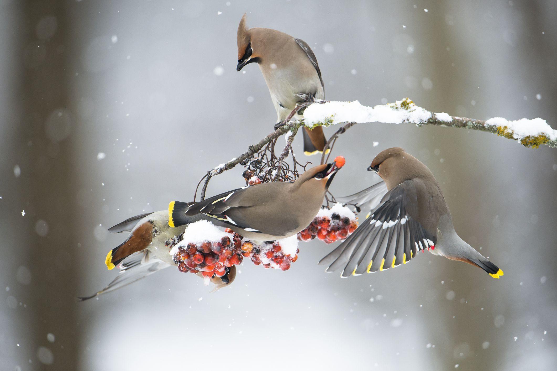 Прикольные картинки с птицами зимой, обои прикольные