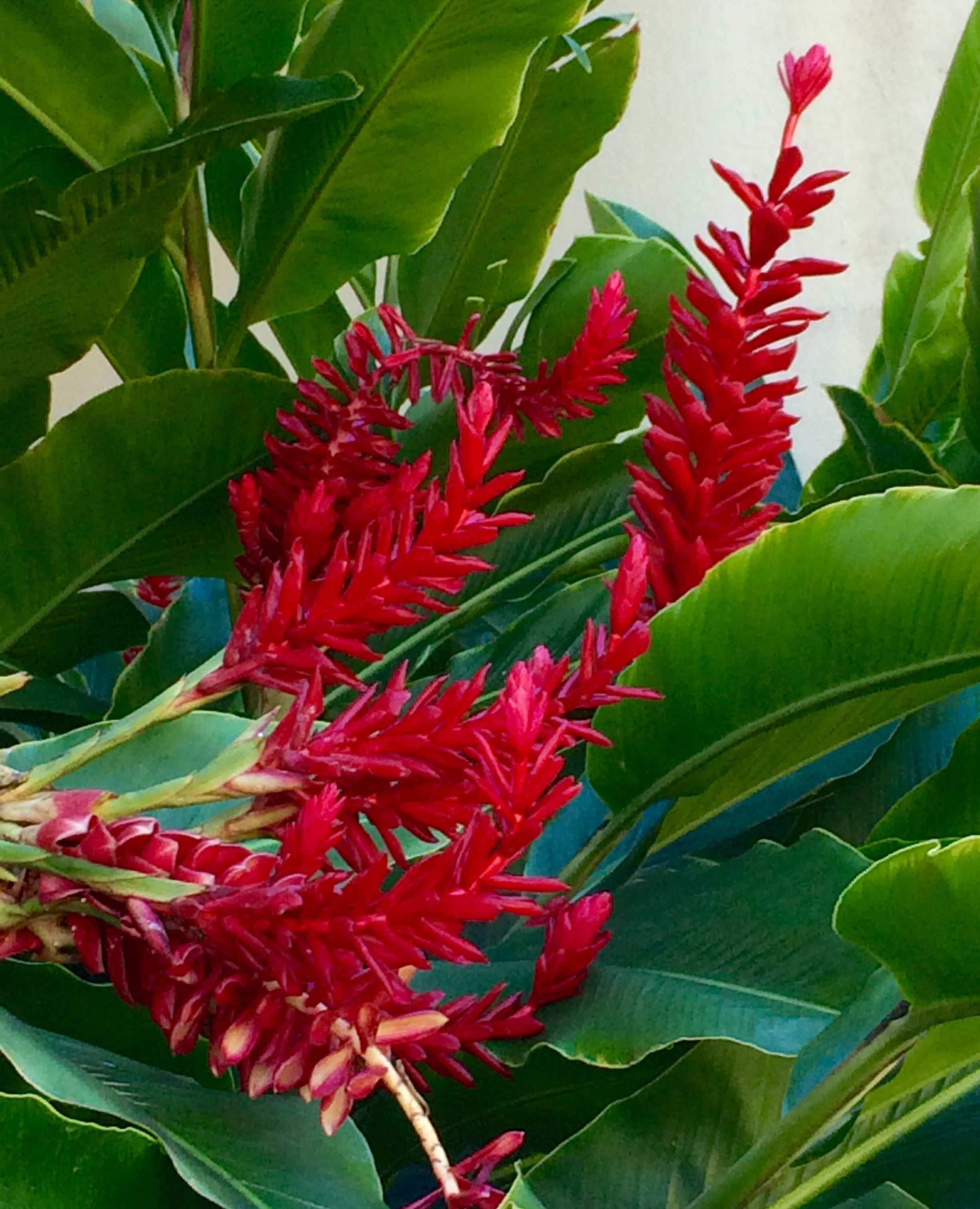 Red Ginger Tropical Flowers Flowers Online Tropical Flowers Flowers