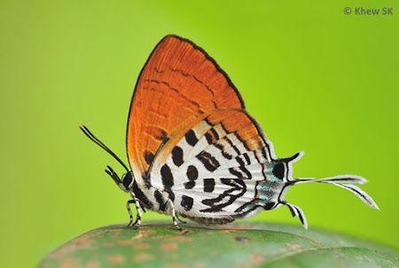 Dark Posy Drupadia Theda Thesmia Moth Butterfly Dark