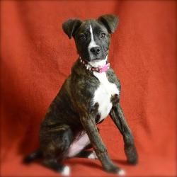 Adopt Darcie On Boxer Dogs Dogs Adoption