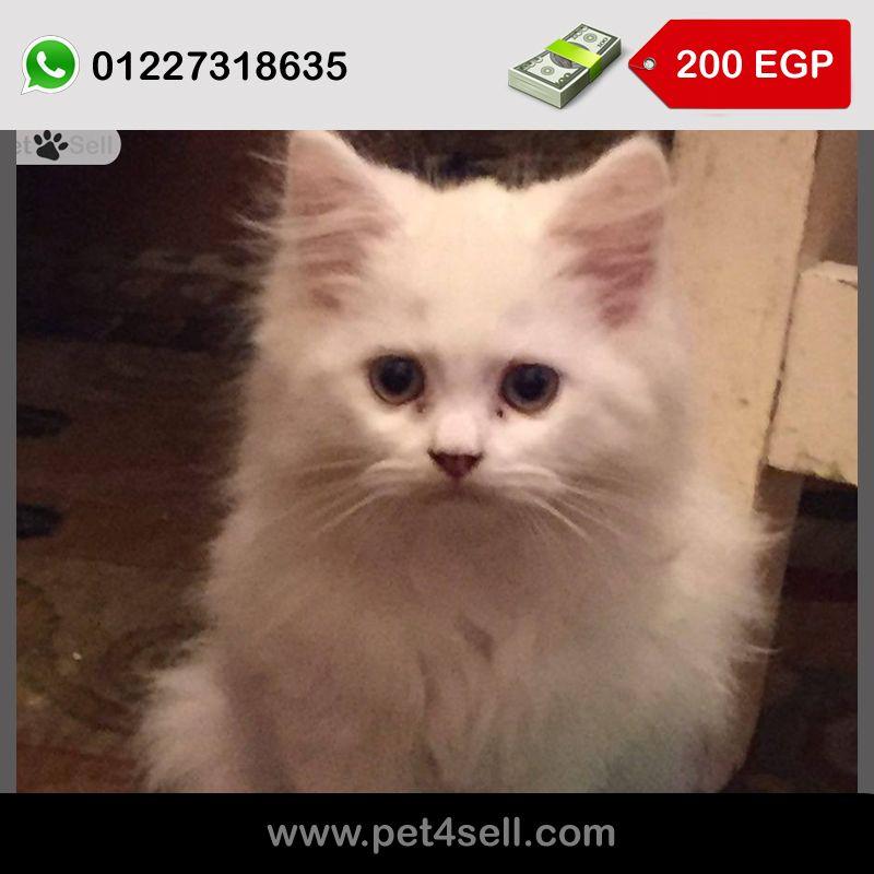 قطة شيرازي مون فيس Age 3 Month Cats Animals