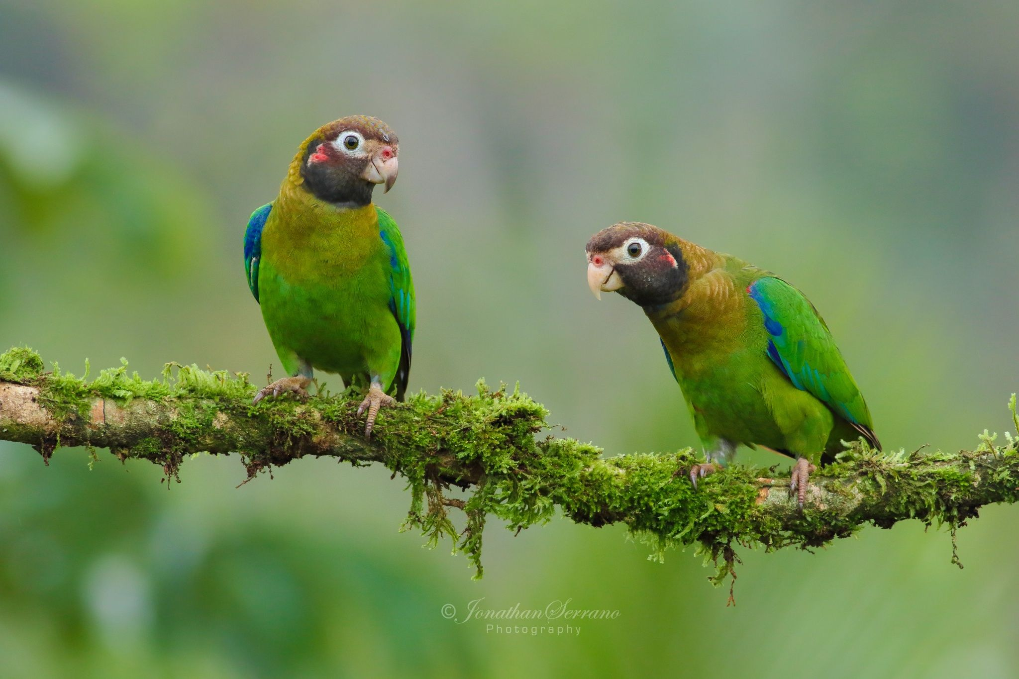 Brown-hooded Parrot. by Jonathan Serrano on 500px