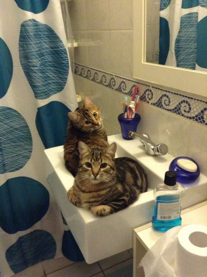 more cats in sinks
