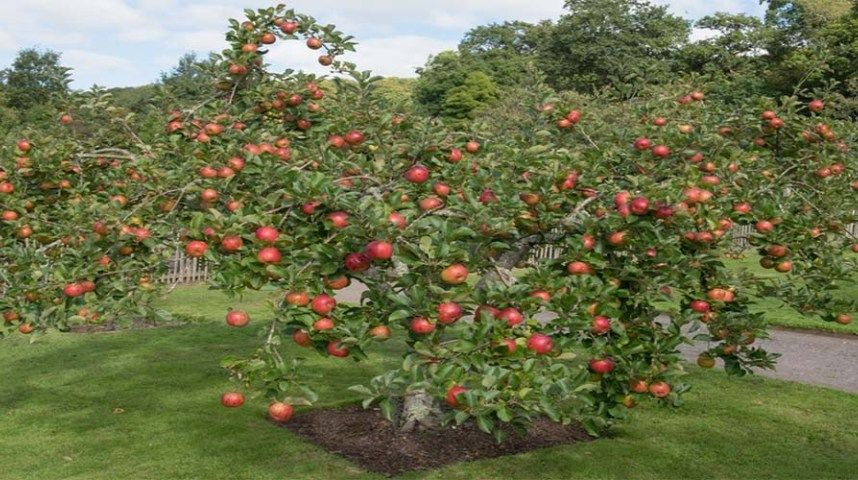 How To Plant Fruit Trees This Is My Garden Fruit Trees Patio Fruit Trees Apple Tree
