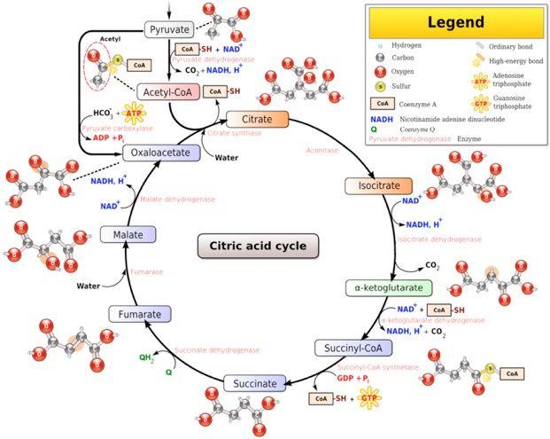 Pics For Glucose Metabolism Diagram Chemistry Pinterest