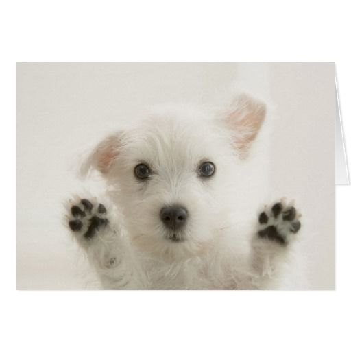 Cute Westie Puppy Card Zazzle Com In 2020 Cute White Dogs Very Cute Dogs Westie Puppies