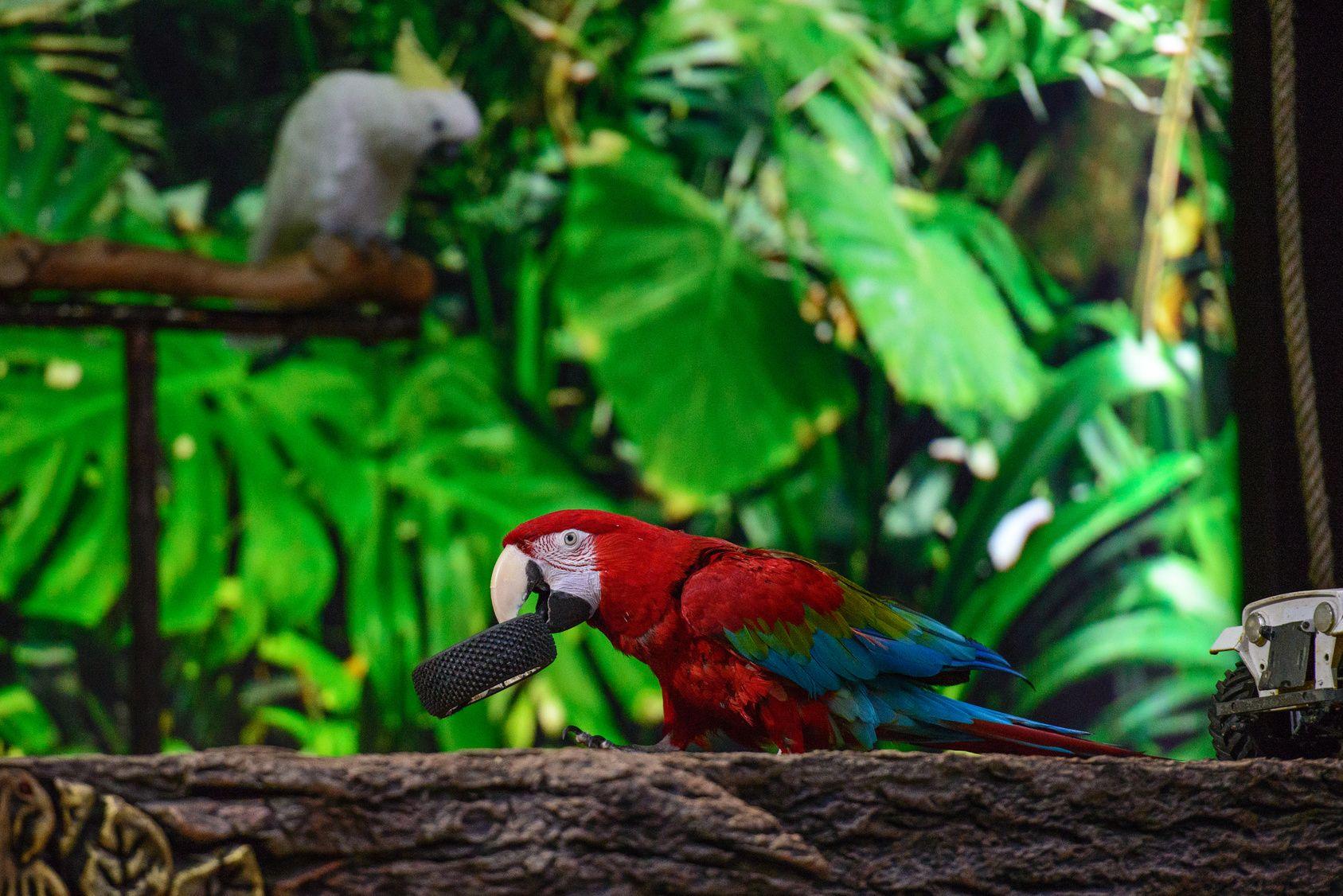 Jungle Ara