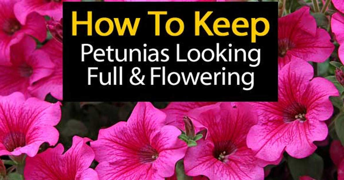 Petunia Care How To Grow And Keep Petunia Flowers Blooming Petunia Plant Petunias Petunia Flower