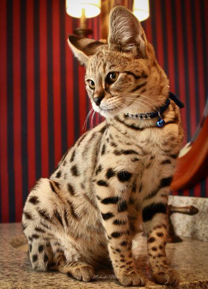 Savannah Cat Bengal Cat Savannah Cat Serval Cats