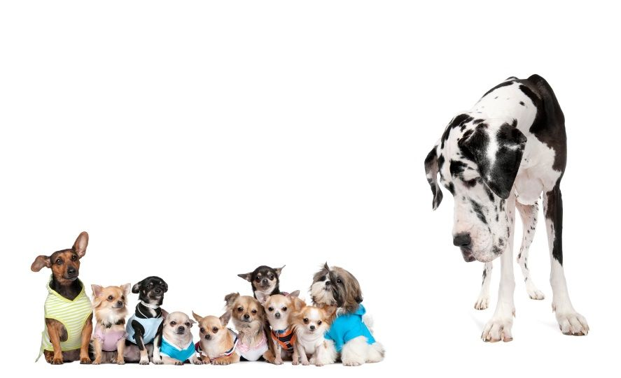 Small Dogs And A Great Dane Average Dog Lifespan 6 Tips To Keep