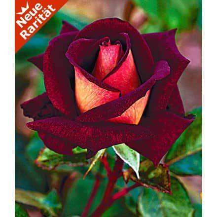 Baldur garten rosen  Beet-Rose 'Osiria®', 1 Pflanze - BALDUR-Garten GmbH | Garten ...