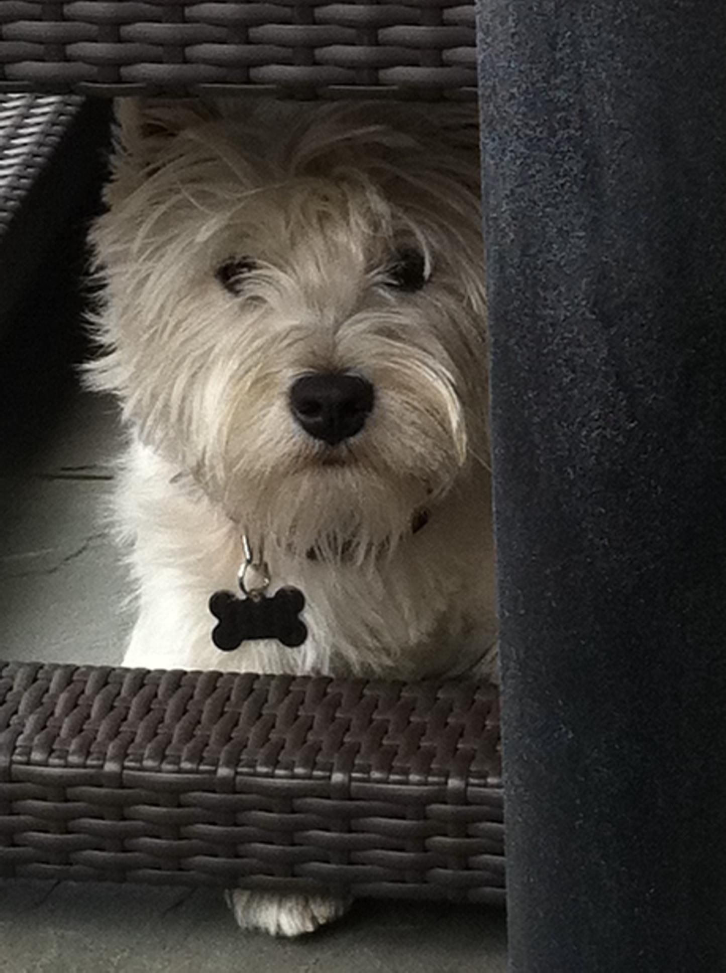 Cody the westie hanging out. Westie dogs, West highland