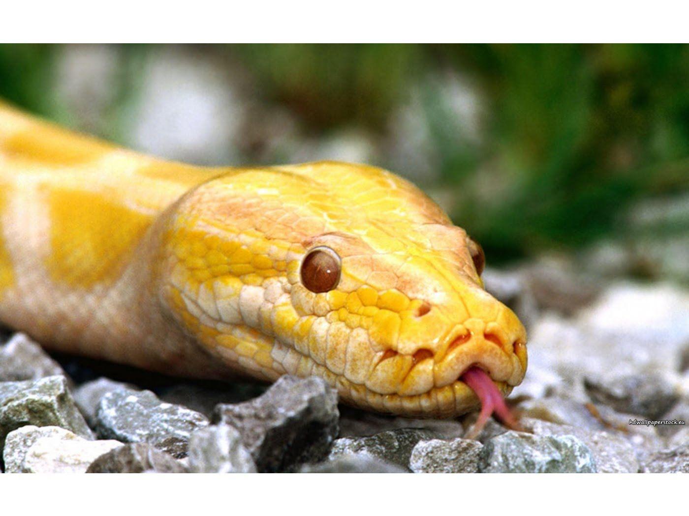 Albino Burmese Python Yellow Animals Burmese Python Pet Snake