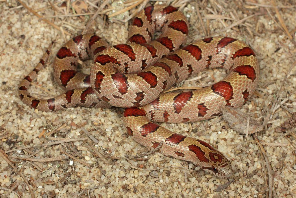 Mole Kingsnake   Reptiles   Snake, Corn snake, Reptiles