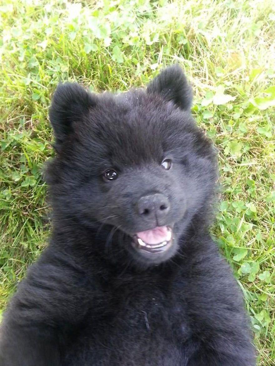 This Isn T A Bear It S A German Shepherd Akita Corgi Mix Teddy Bear Dog Bear Dog Corgi Puppies For Sale