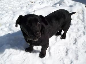 Adopt Poco On Corgi Dog Black Labrador Retriever Dogs