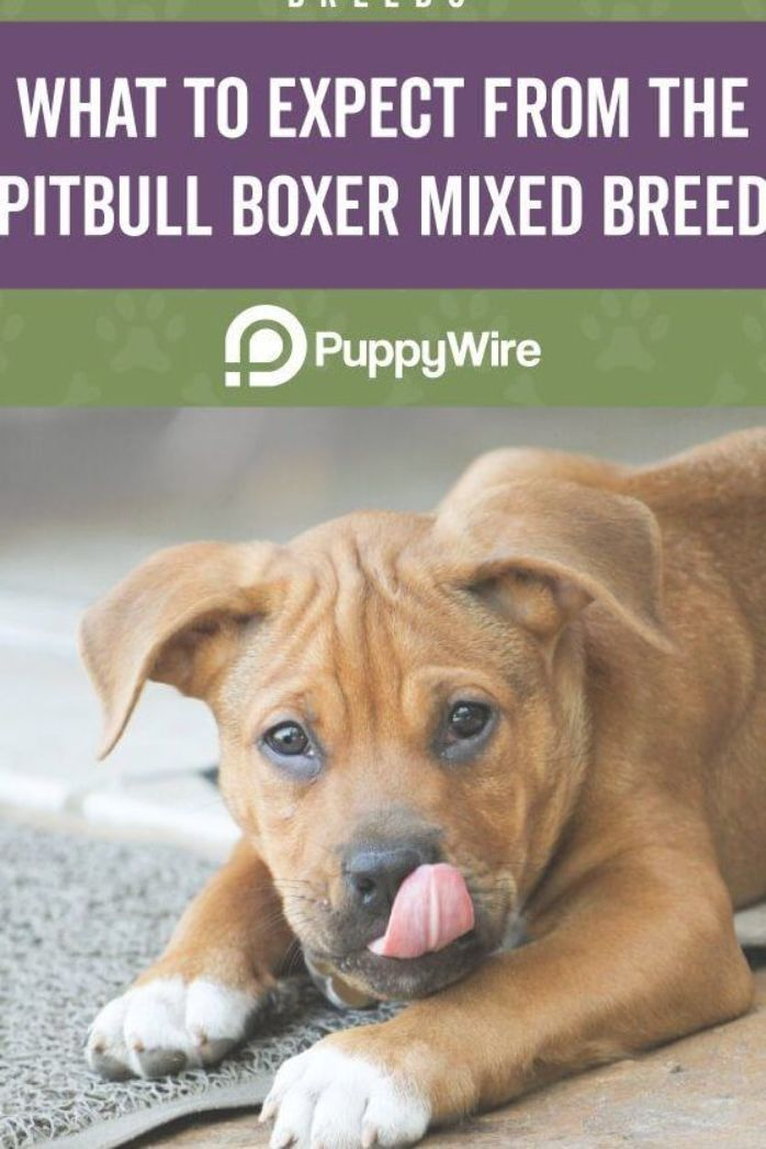 This post covers what to expect from the Pitbull Boxer Mix