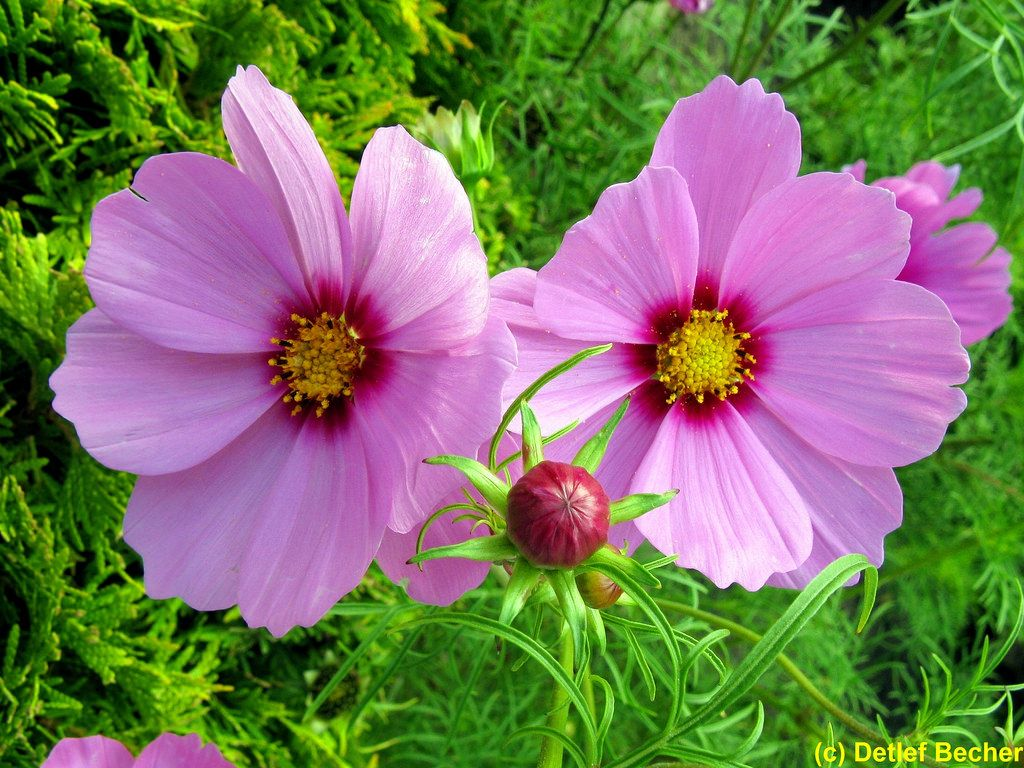 Pin By Bessie Benson On Cosmos Cosmos Plant Plant Bud Cosmos