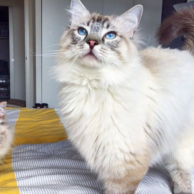 Instagram Photo By Ragdolls Nugget And Archie Jun 13 2015 At