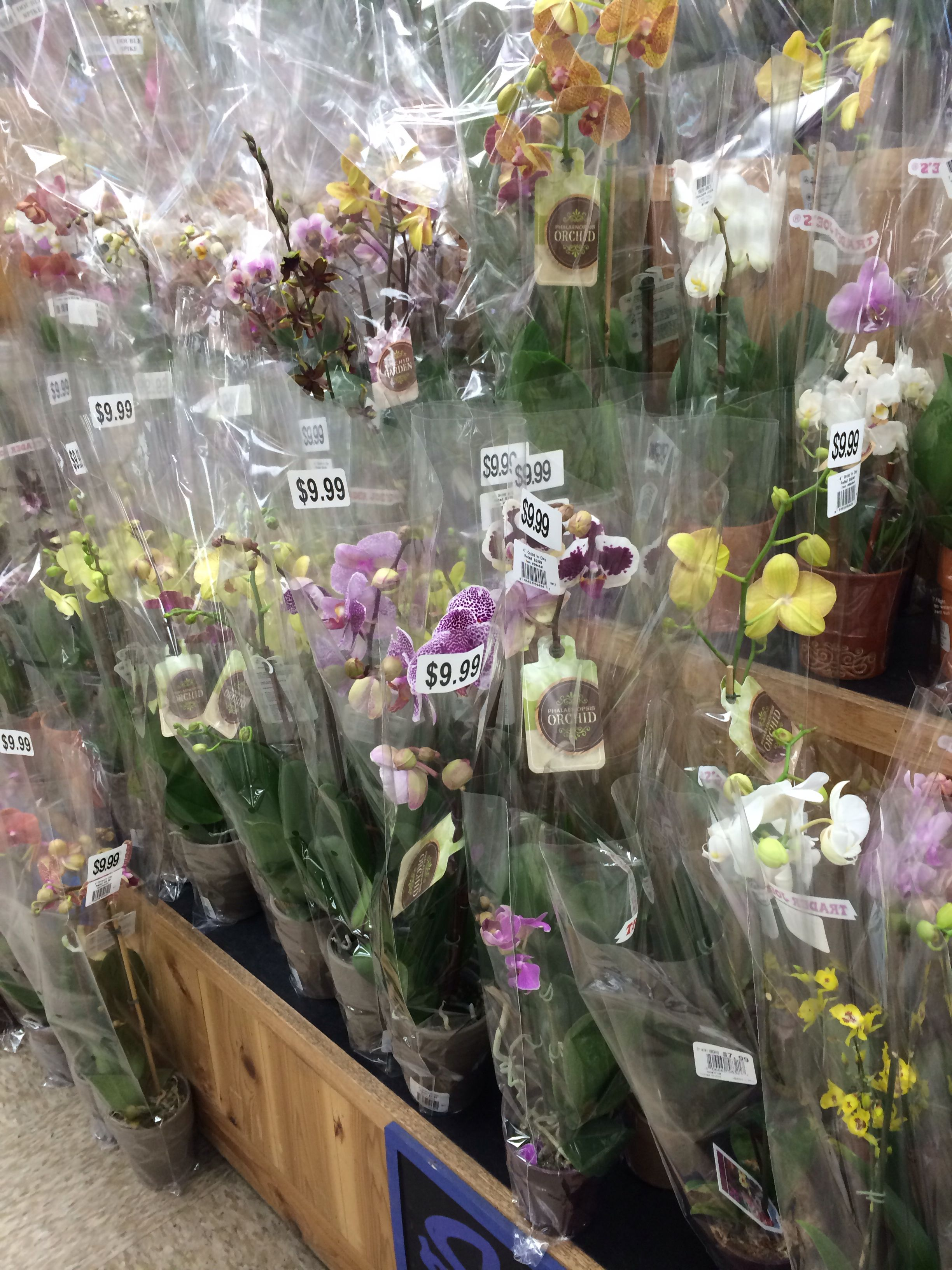 Trader Joe's Orchids Price : trader, joe's, orchids, price, Orchid, Trader