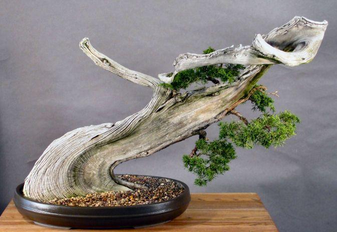 Magnificent Phoenix Graft Tenuki Bonsai Bonsai Grafting Magnificent