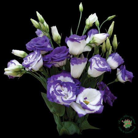 lisianthus eustoma fr hling sommer herbst winter wei rot blau gelb rosa violett. Black Bedroom Furniture Sets. Home Design Ideas