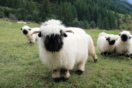 AHHH!  They're so cute!!!  :D  (They're Valais Blacknose Sheep from Switzerland.)