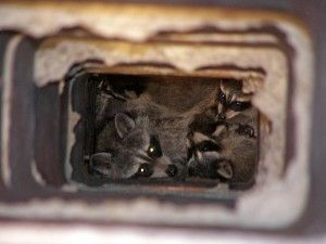 Think You Have Animals In Your Chimney Wildlife Raccoon Removal Animals