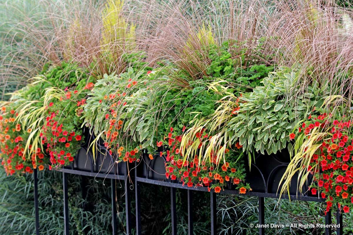 Fall Containers with herbs, Hakmac, carex, and calibrachoa | Paul Zammit | Janet Davis Paintbox Garden