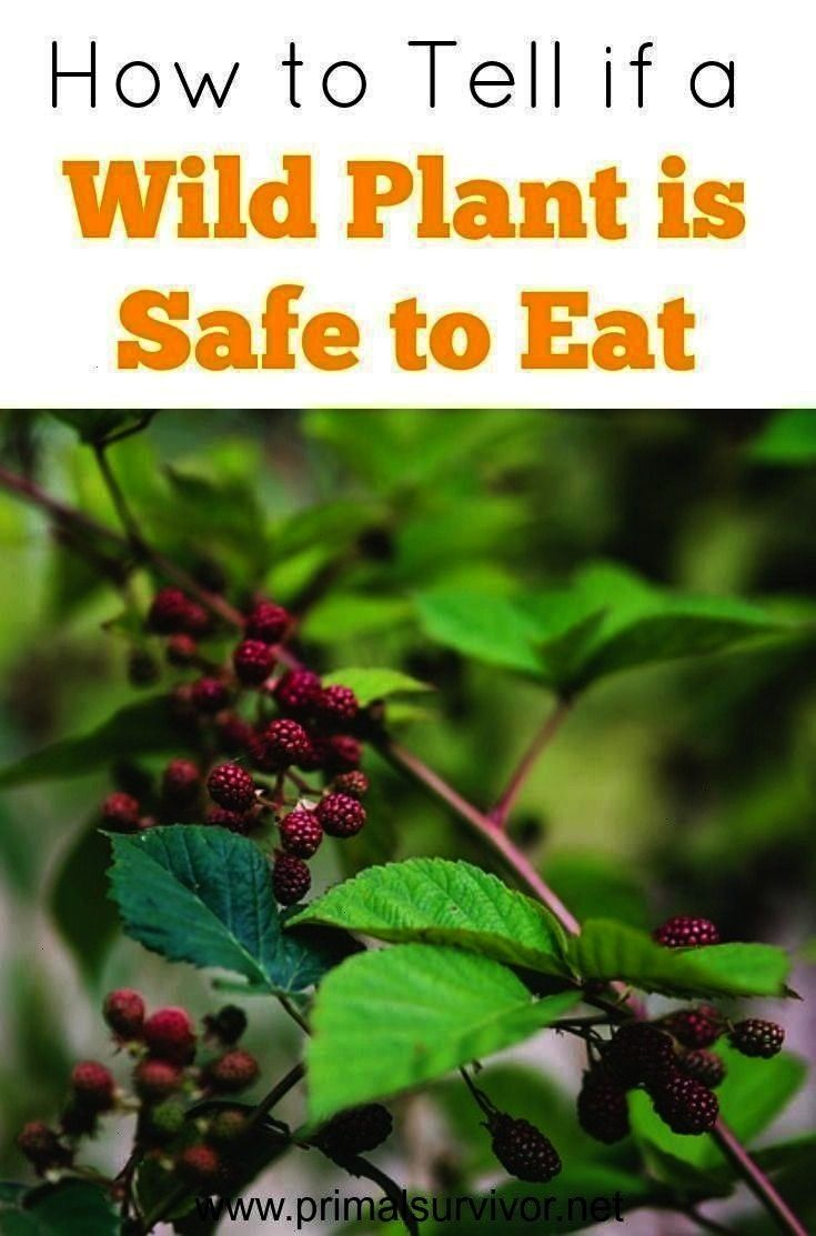 if a Wild Plant is Safe to Eat -How to Tell if a Wild Plant is Safe to Eat -  Outdoor Emergency Wat