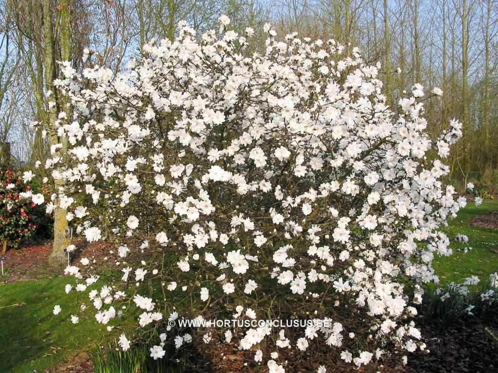 Magnolia x loebneri \'Mag\'s Pirouette\' - Heester - Hortus Conclusus ...